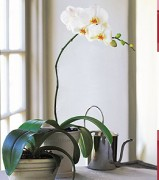 White Phalaenopsis Orchid Flowers Gift